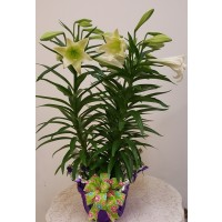 Flowers - Easter Lily - 6 Inch Pot